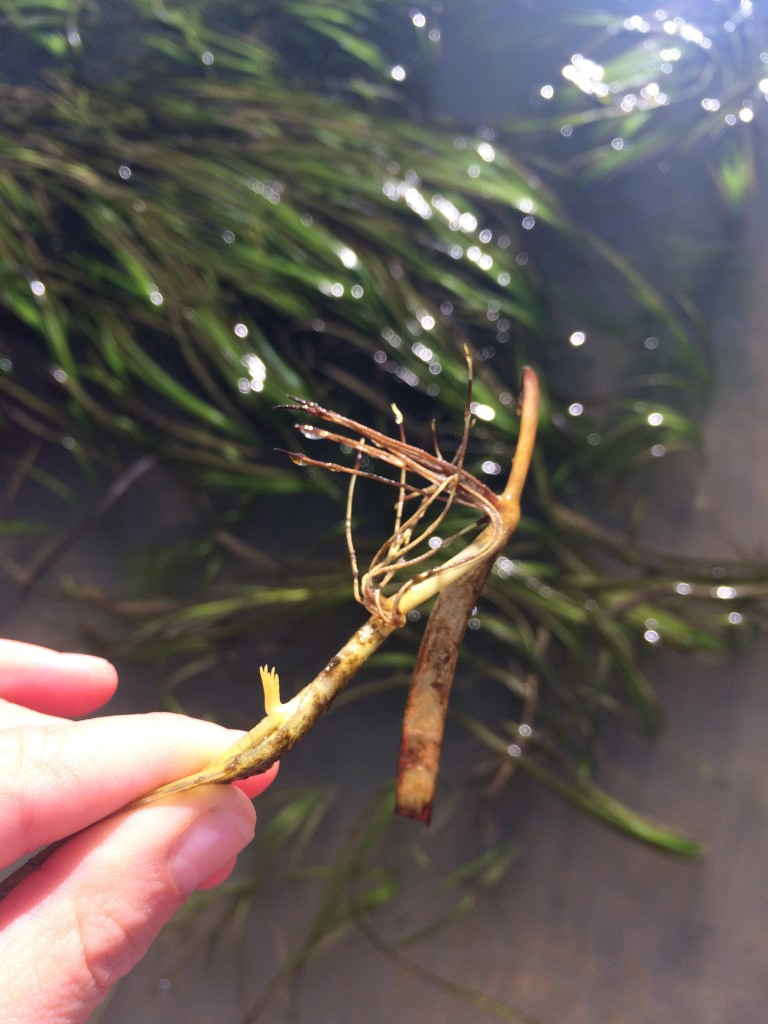 Here you can see the roots of eelgrass. Eelgrass expands both by seed dispersal and via these horizontal stems, or rhizomes, which grow below the surface of the sediment.