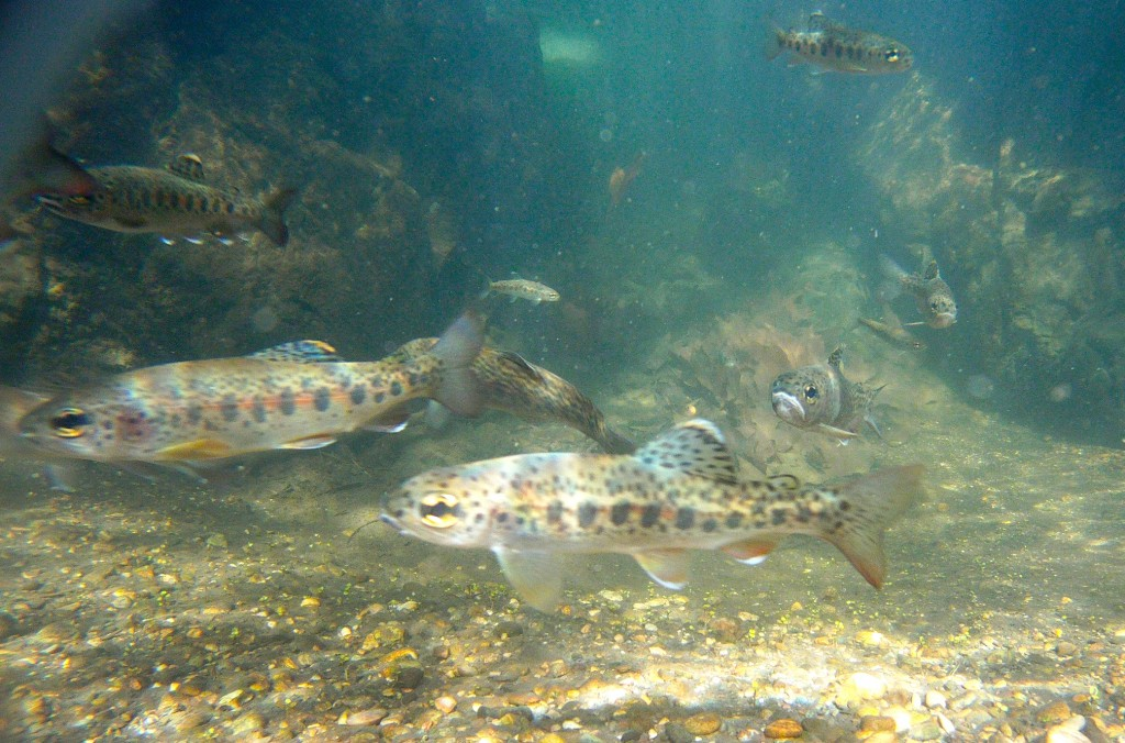 Steelhead swim in a local creek