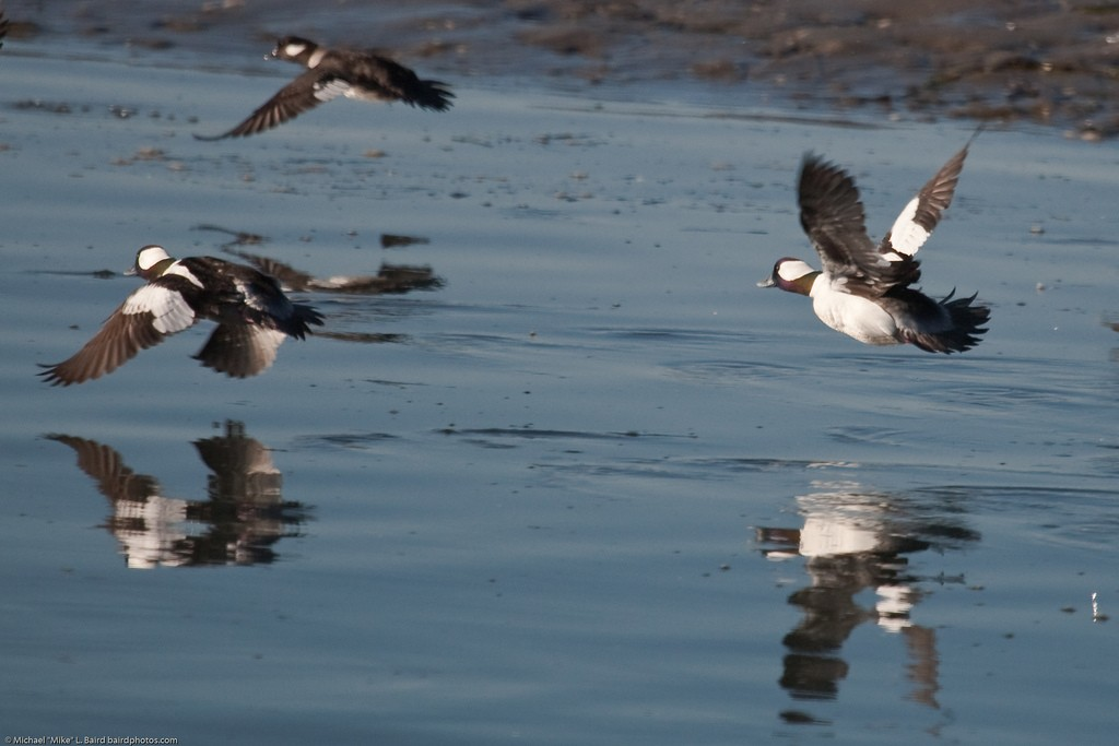 Buffleheads on the bay