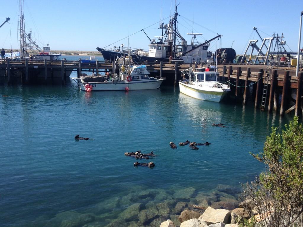 A raft of sea otters floats near shore