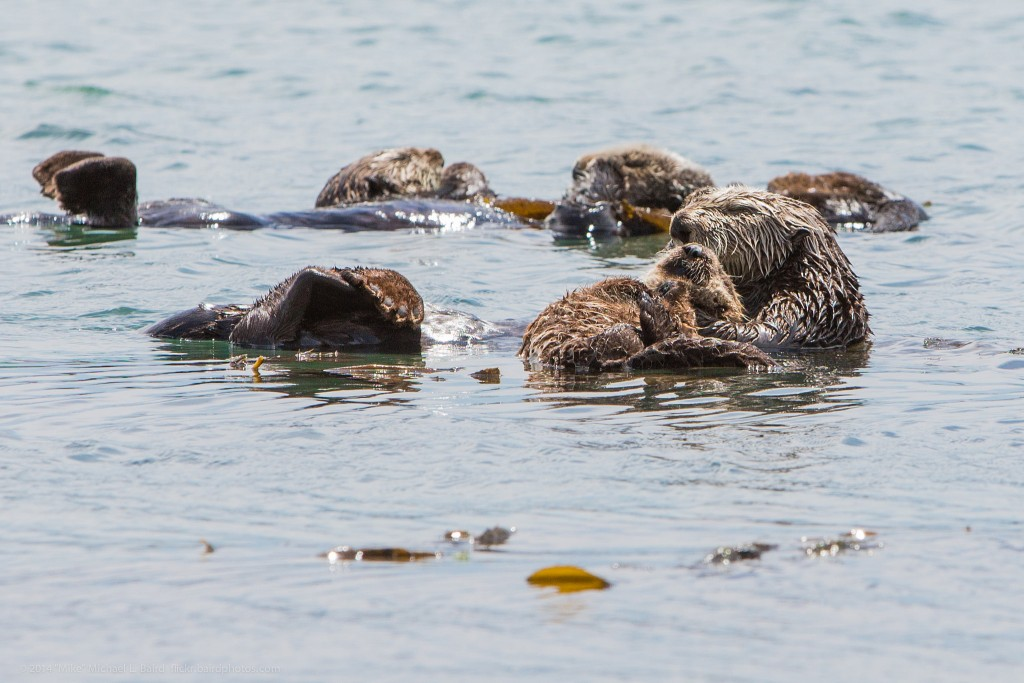 "Mothers and pups need even more rest than the average sea otter. This group of sea otters contains several mothers with pups. Photograph courtesy of ""Mike"" Michael L. Baird, flickr.bairdphotos.com"