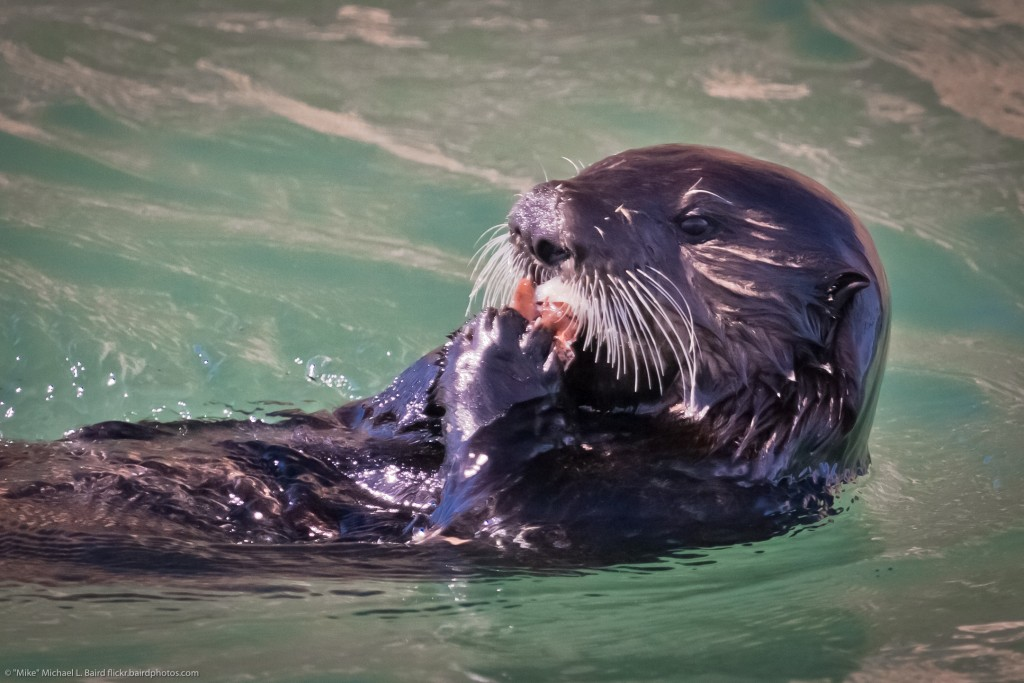"""Sea otter eating in Morro Bay. Photograph courtesy of """"Mike"""" Michael L. Baird, flickr.bairdphotos.com"""