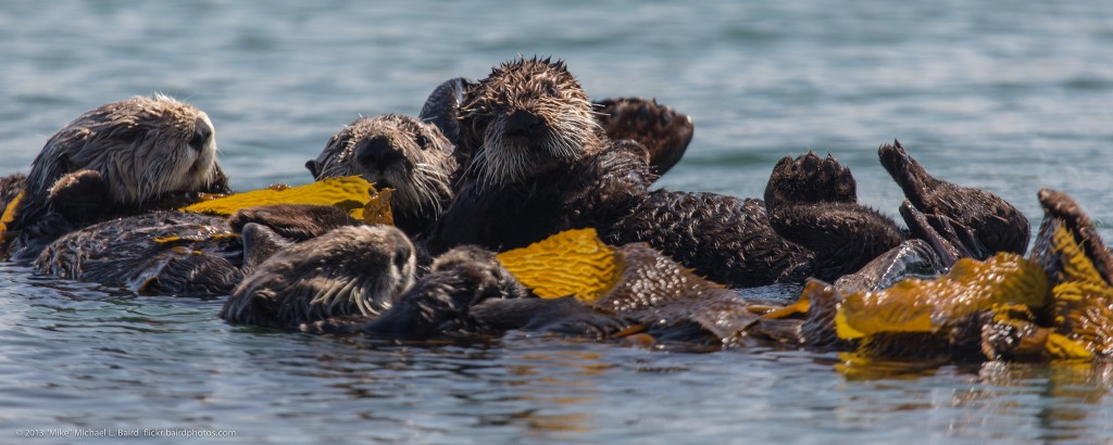 """A group of sea otters is called a raft. This raft makes their home in the Morro Bay National Estuary. Photograph courtesy of """"Mike"""" Michael L. Baird, flickr.bairdphotos.com"""