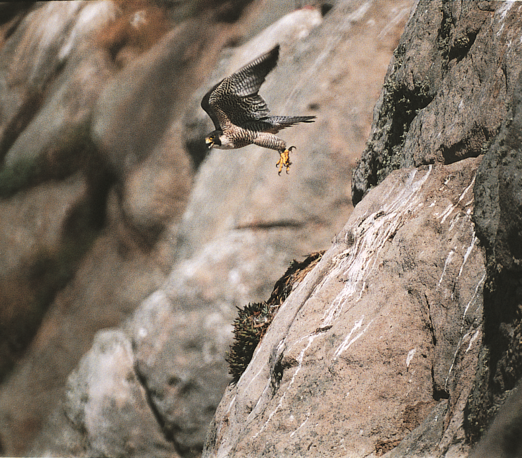 A peregrine falcon flies off of Morro Rock. Photograph courtesy of Ruth Ann Angus.