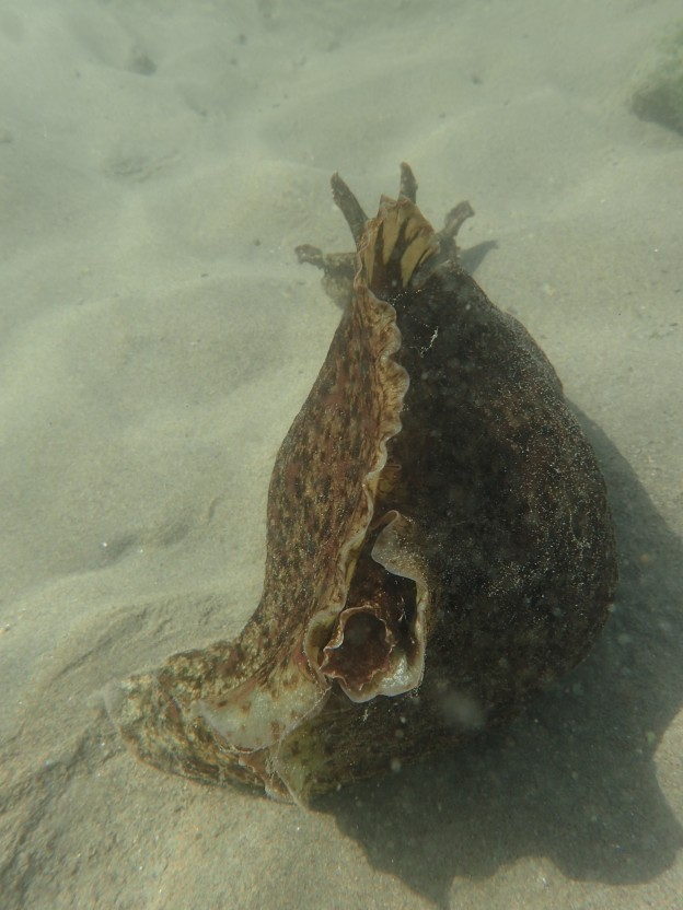 While monitoring eelgrass, our staff spotted this California sea hare under the water at Coleman beach.
