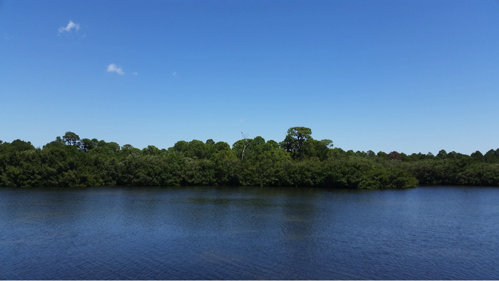 A mangrove forest, seen from the water.