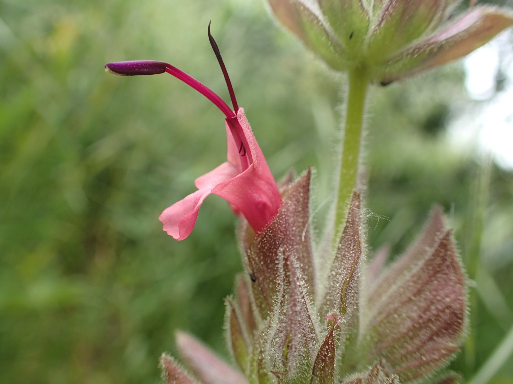Hummingbird sage, a native plant, grows in the Morro Bay estuary watershed.