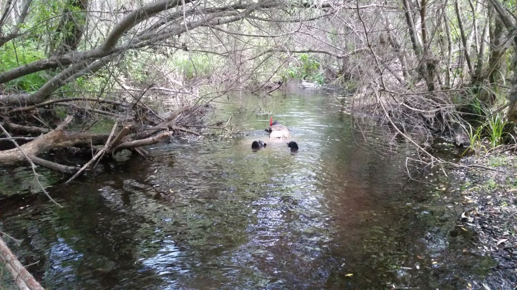 They were excited to hop into Chorro Creek and look for fish. This is what a typical snorkel survey looks like.