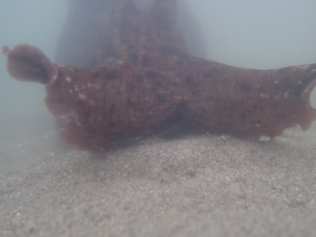 Estuary Program staff captured this sea hare close-up during an eelgrass survey at Coleman Beach.