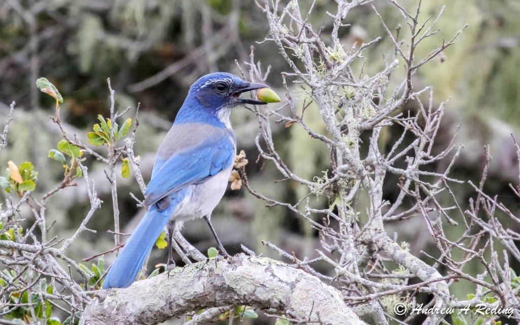 A Western scrub jay eats an acorn in the Elfin Forest. Photograph by Andrew Reding.