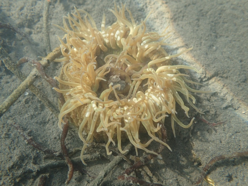 We found an anemone on the sandy bottom of the bay.