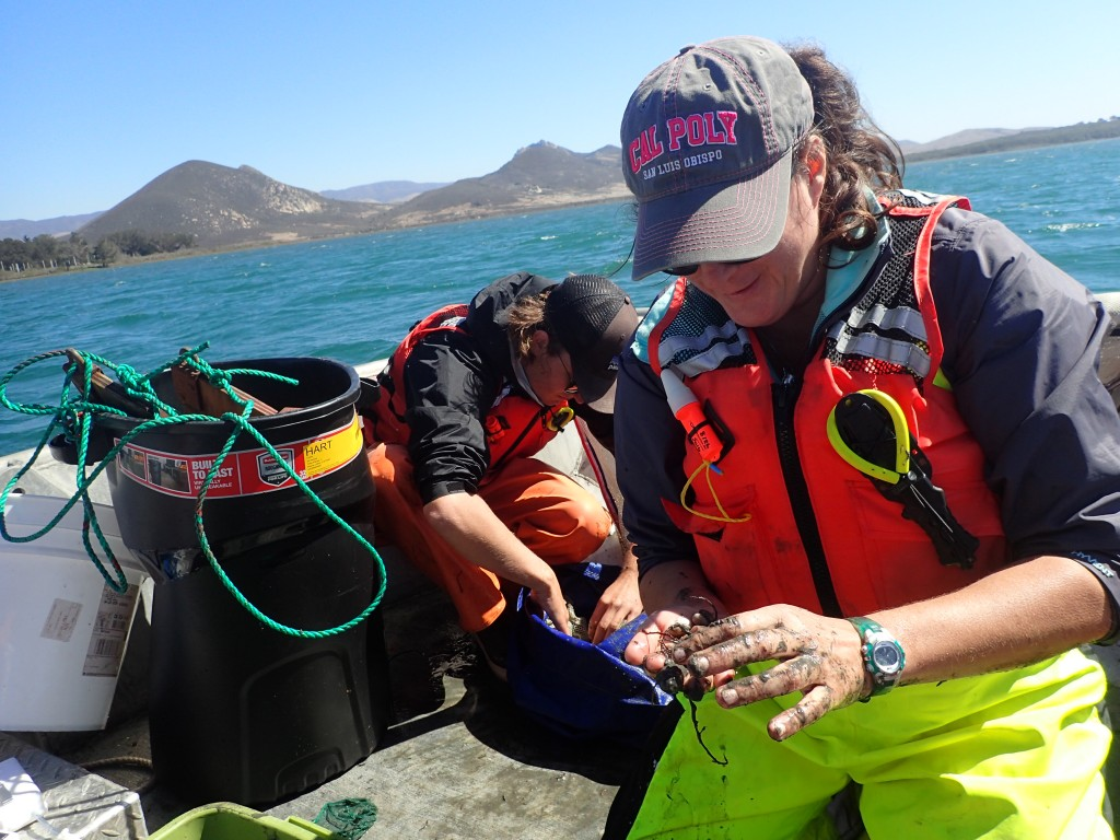 Here, Jennifer sorts through Gracilaria for looking for fish and invertebrates, such as Gould's bubble snails (Bulla gouldiana).