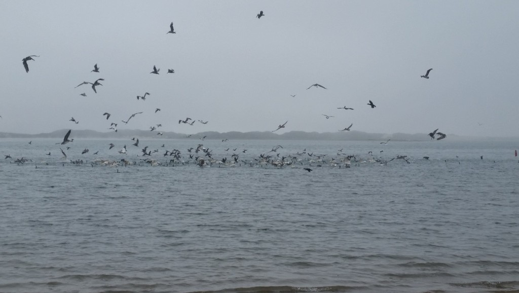 Birds feed on bait fish schooling in the bay.