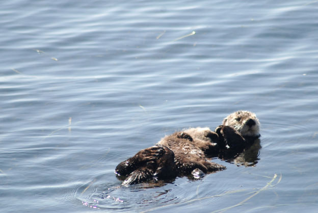 We sometimes see mother otters with pups on their chests floating by.