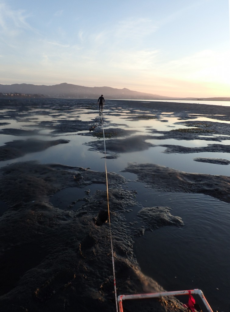 We were excited to find some patches of eelgrass popping up across from the State Park Marina. We had to race to collect data on these patches before the sun went down.