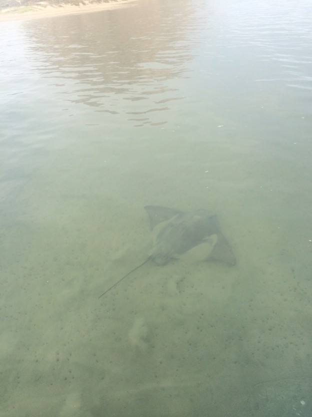 Estuary Program Monitoring staff got a good view of this bat ray while monitoring eelgrass beds.
