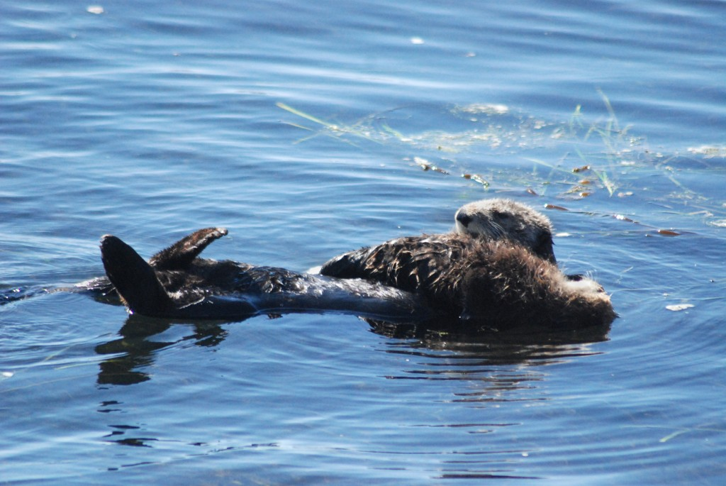 A mother sea otter and her pup float on Morro Bay above a seagrass bed.