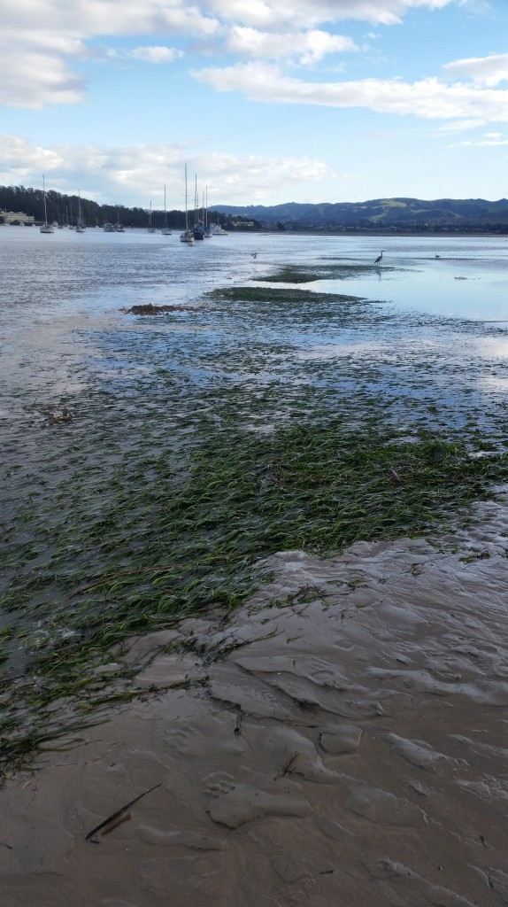 We watched birds forage in the eelgrass bed as we waited for the tide to continue dropping so that we could start our survey.