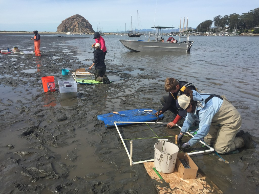Estuary Program staff and partners planting eelgrass shoots within designated one-meter squared plots, during low tide.