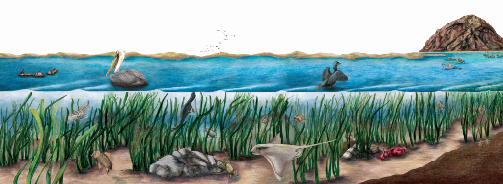 Eelgrass illustration small