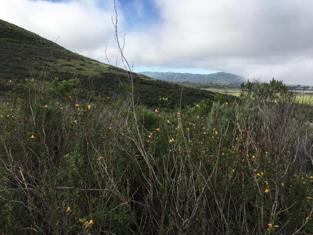 Sticky Monkey Flower on Cerro Cabrillo Trail