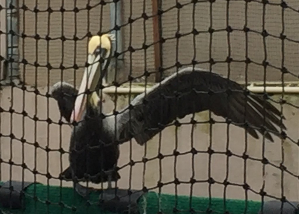 The pelican spent a few weeks indoors before the team felt comfortable moving her to the outdoor flight cage.