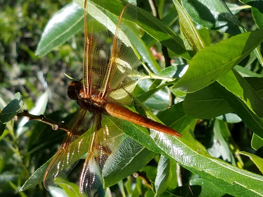 This dragonfly landed on a tree leaf, allowing us to see its intricate wing detail up close.