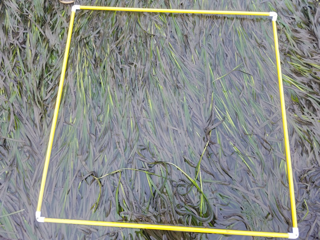 During this survey, we place a quadrat down at random and count the number of shoots in a flowering stage. From there, we try to identify which flowering stage the shoots are in.
