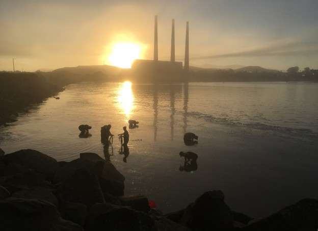 The crew of staff and volunteers harvested eelgrass in their assigned locations as the sun rose over Morro Bay. The crew of staff and volunteers harvested eelgrass in their assigned locations as the sun rose over Morro Bay.