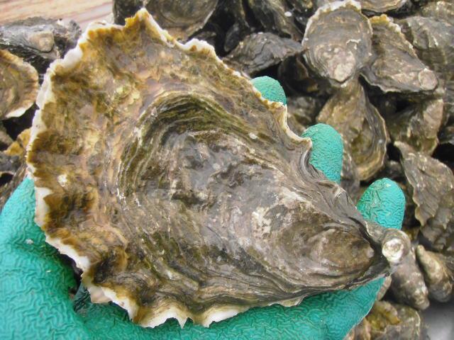 Photograph courtesy of Grassy Bar Oyster Company