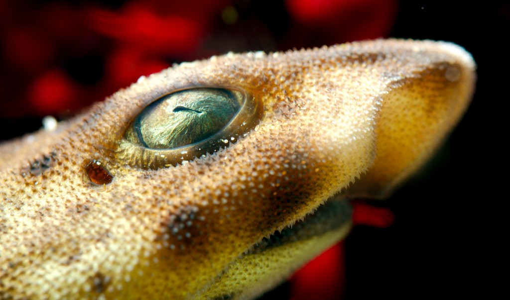 Swell shark closeup by Josh More, via Flickr.