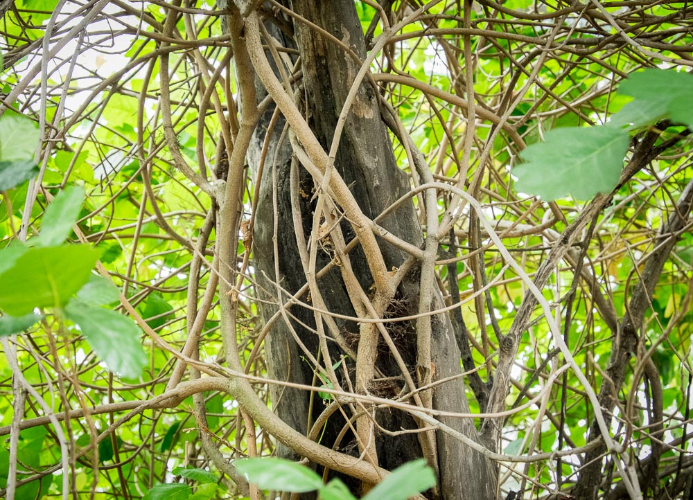 The branches of poison oak also contain urushiol oil. Here, branches climb a dead tree. In the winter, they drop their leaves and become difficult to identify. Photograph courtesy of http://www.poison-ivy.org/