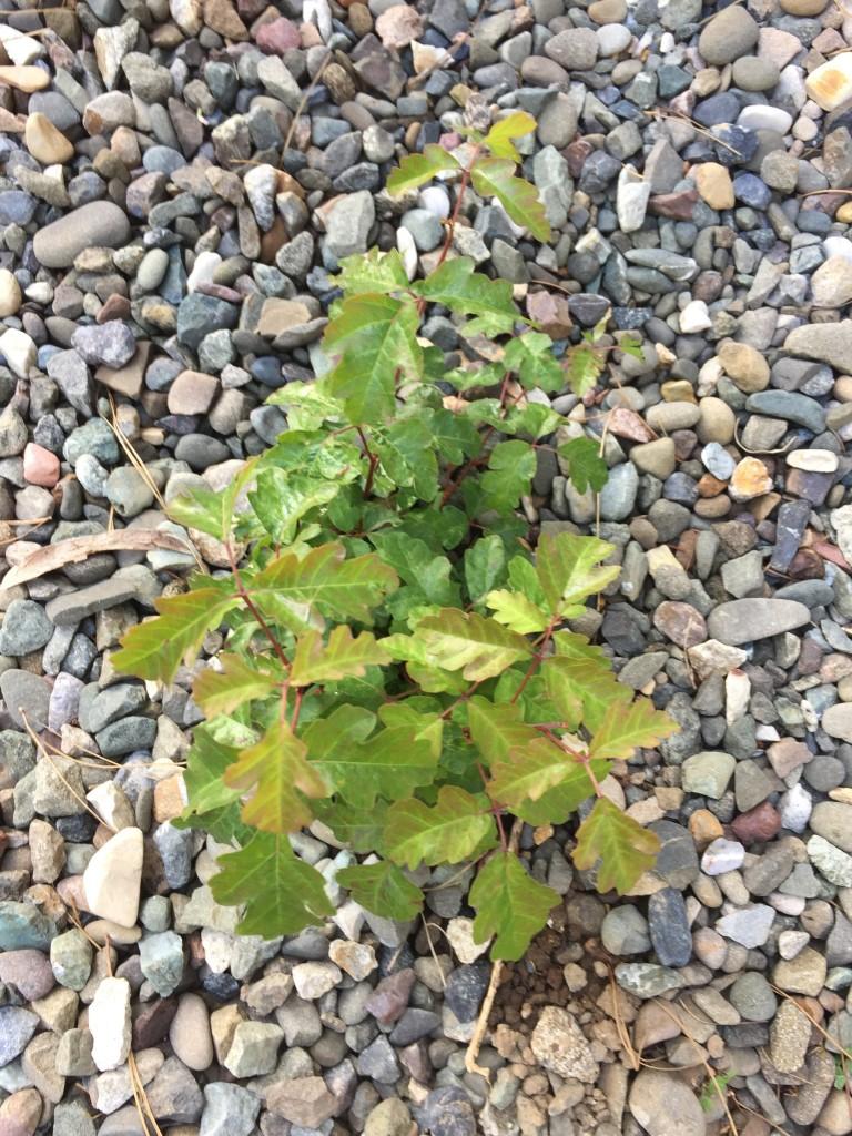 Green leaves of poison oak