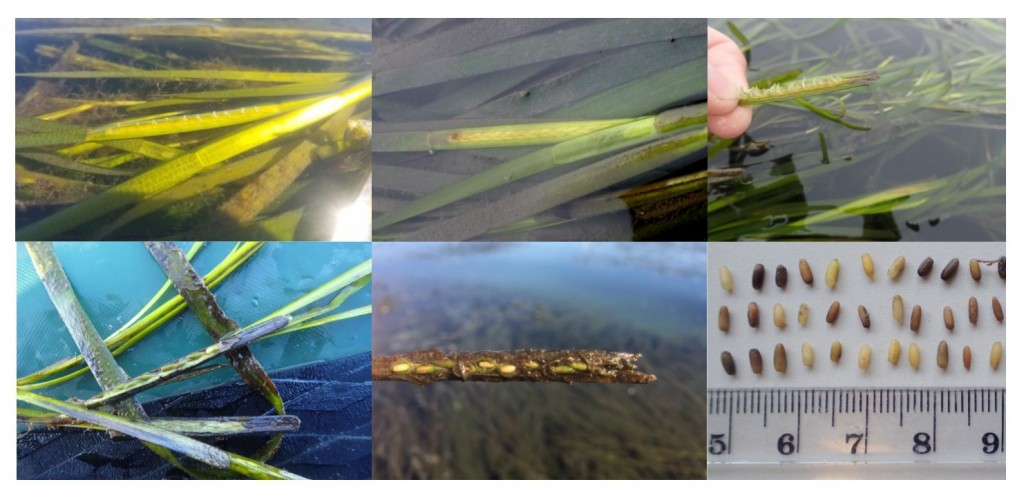 This photo compilation shows the different stages of eelgrass flowering.