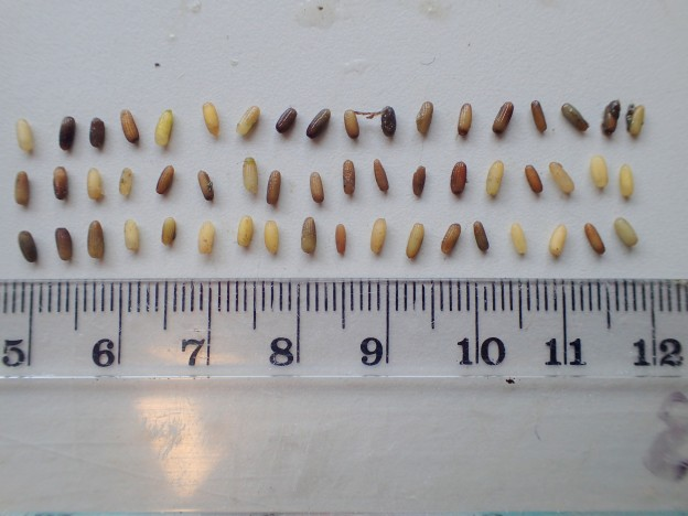 Though all these seeds came from the same eelgrass bed on North Sandspit, there was lots of variation in size and color. You can see the ribs in the goat in some of the seeds.