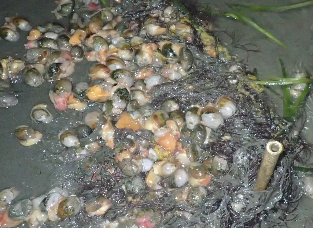 Many bulla snails cluster together on the muddy bay bottom on and around eelgrass shoots.