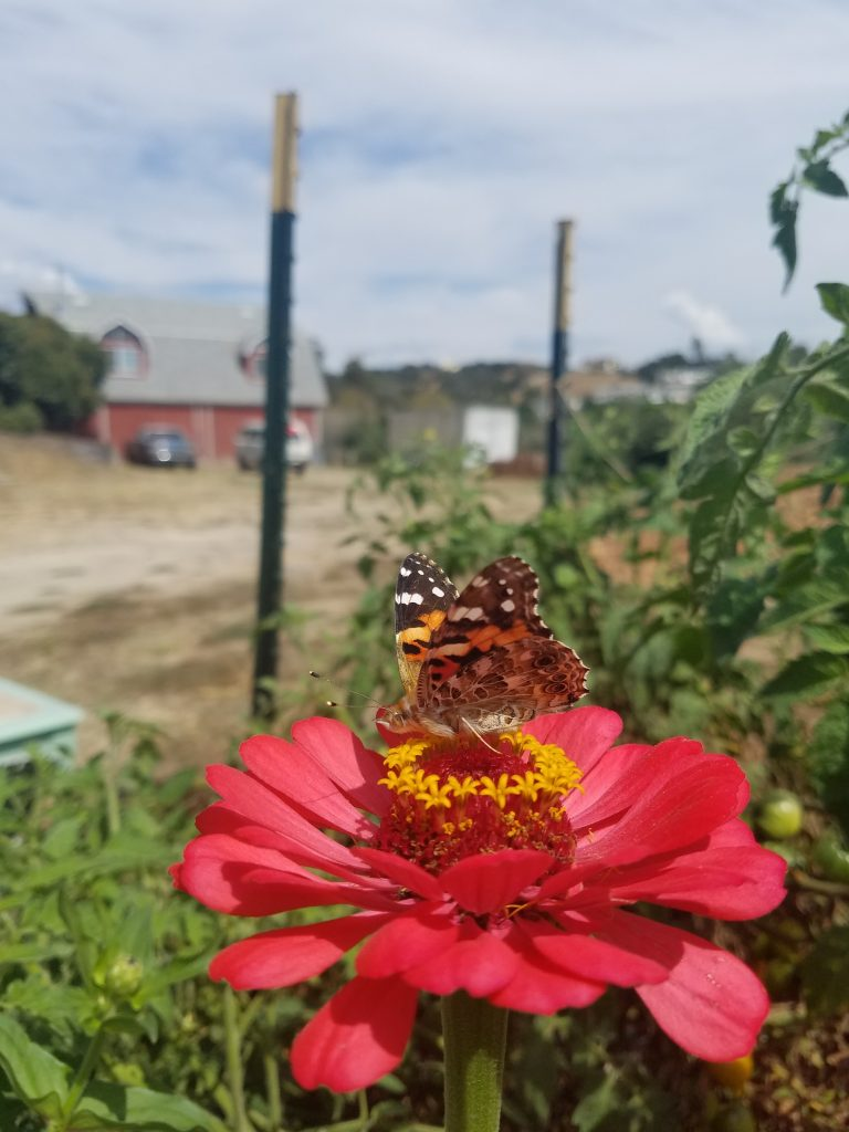 This painted lady butterfly pollinates a flower.