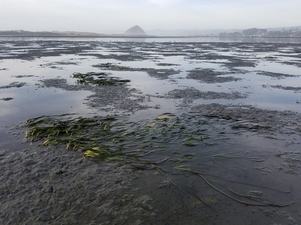 We saw about 15 small patches of eelgrass close to a transect across from Pasadena Point.