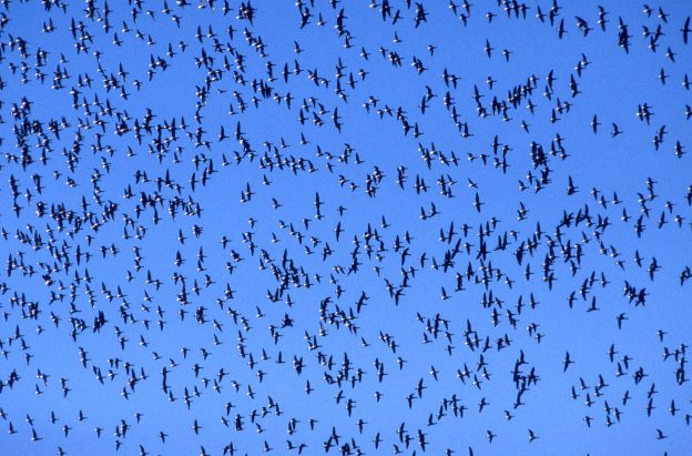 This image from 1999 shows a large flock of Black Brant overhead. Brant are no longer coming to Morro Bay in these numbers.