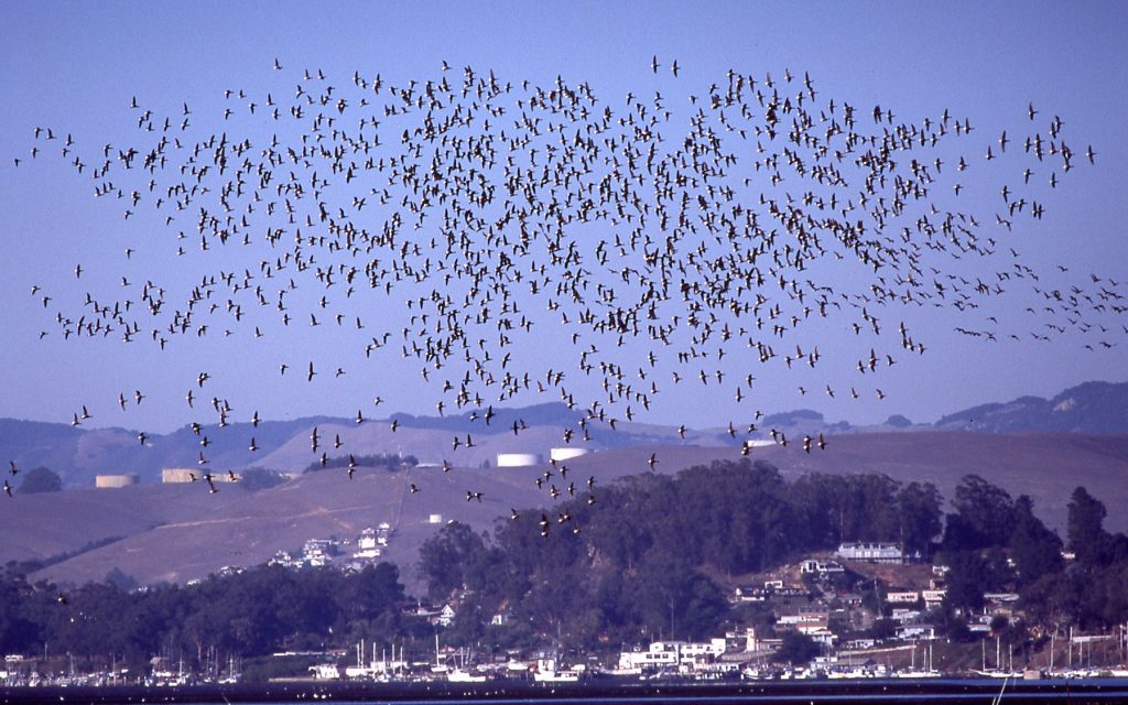 When large flocks of Brant took flight their combined vocalizations awed visitors and residents around Morro Bay. Photo from 2000.