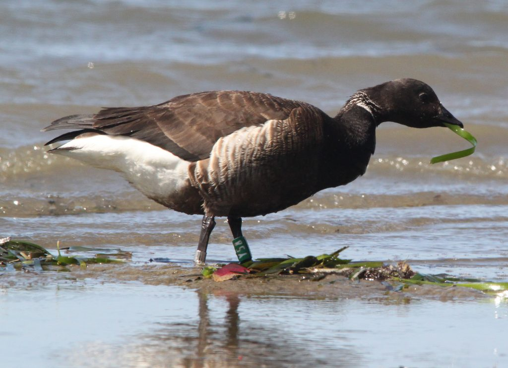 This Black Brant stands on a mudflat eating eelgrass. Look closely at its left leg to see its identification band. Photograph courtesy of Alan Schmierer.