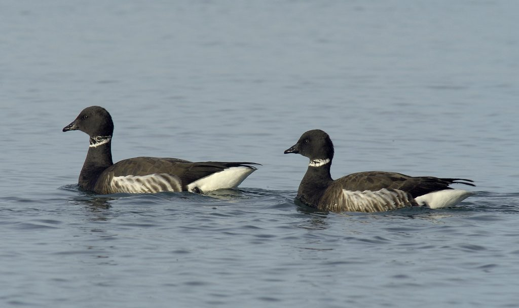 These two Black Brant geese are a bonded pair. Photograph courtesy of Dave Utterback.