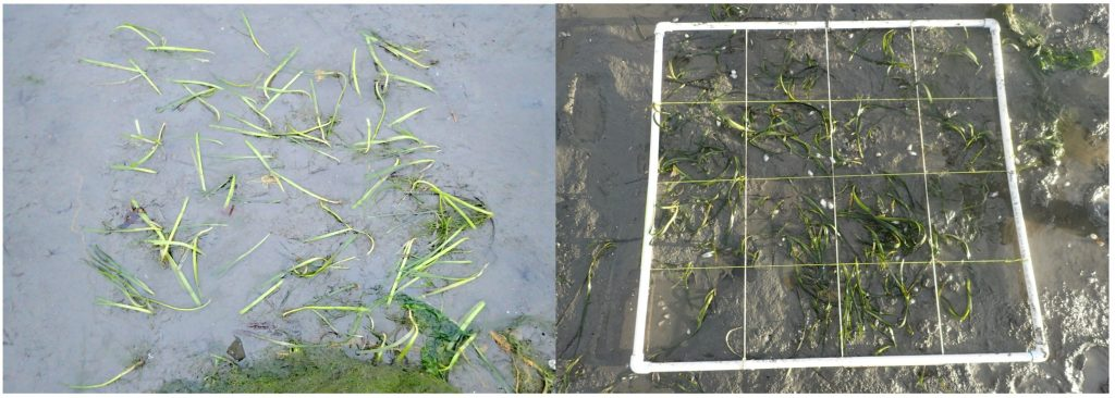 On the left is the eelgrass directly after we planted in in July. 72 rhizomes with about 123 shoots (E). On the left is that plot in January after 6 months with 59 shoots.