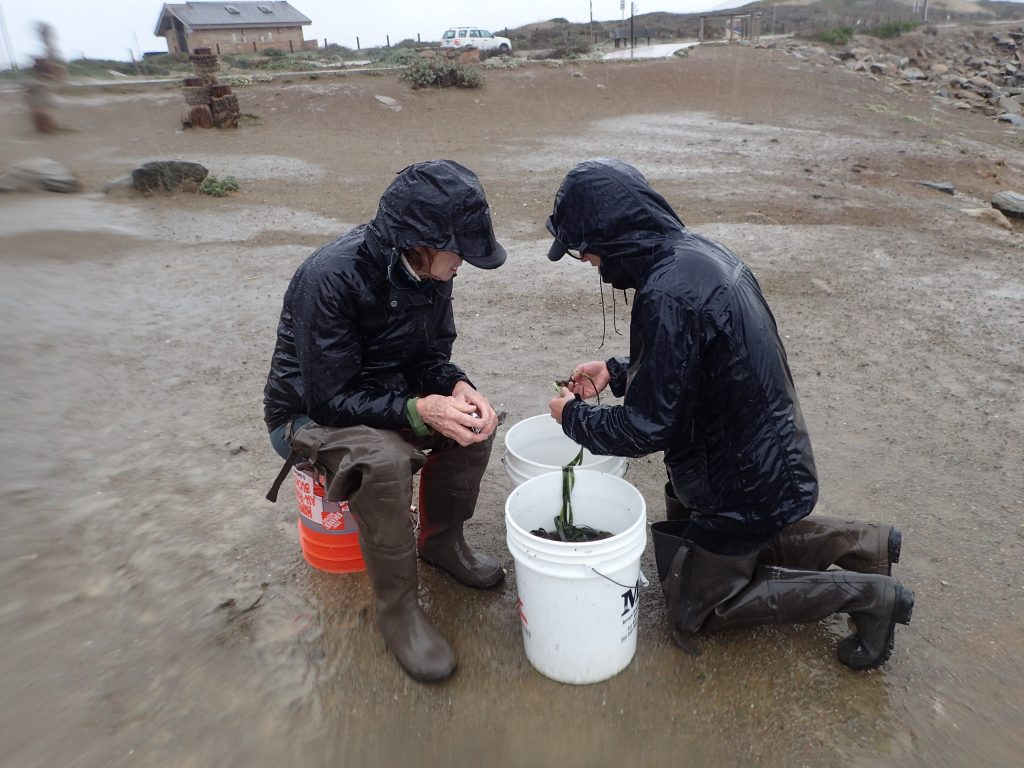 Ignore the blurry edges – we got rained on one day. Here, two of our volunteers work on separating out eelgrass to be planted in a plot.