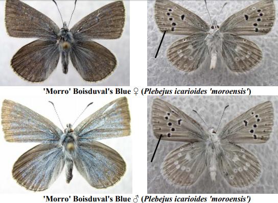Morro blue butterfly