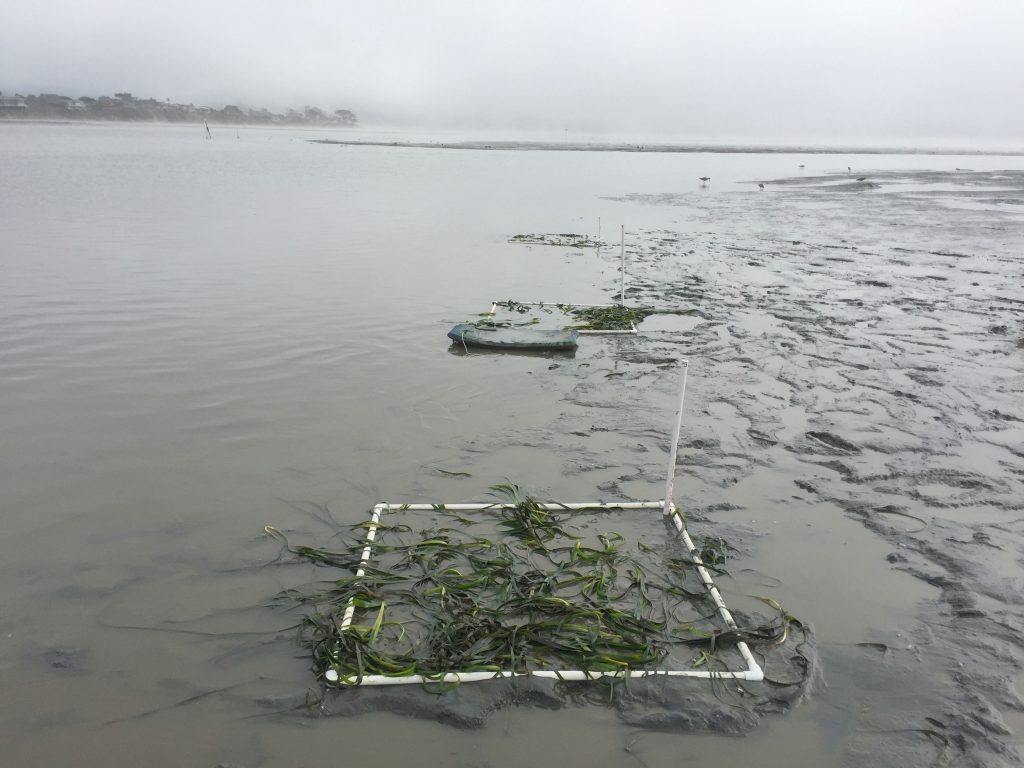 We finished planting just as the water started coming back up in the midbay. We use boogie boards help us from sinking too deep into the famous Morro Bay mud.