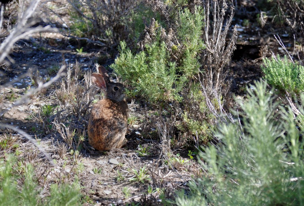 California brush rabbit