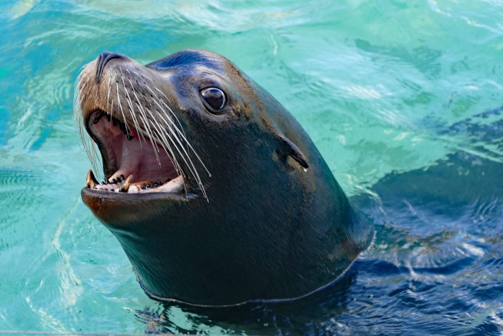 Sea lions' front teeth are short, but sharp. They use them to grip their prey. Photograph via Pixabay.