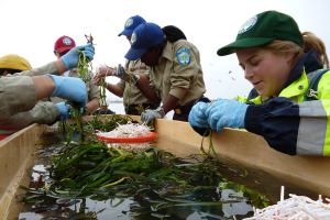 Eelgrass and 2013 Cal Conservation Corps Members