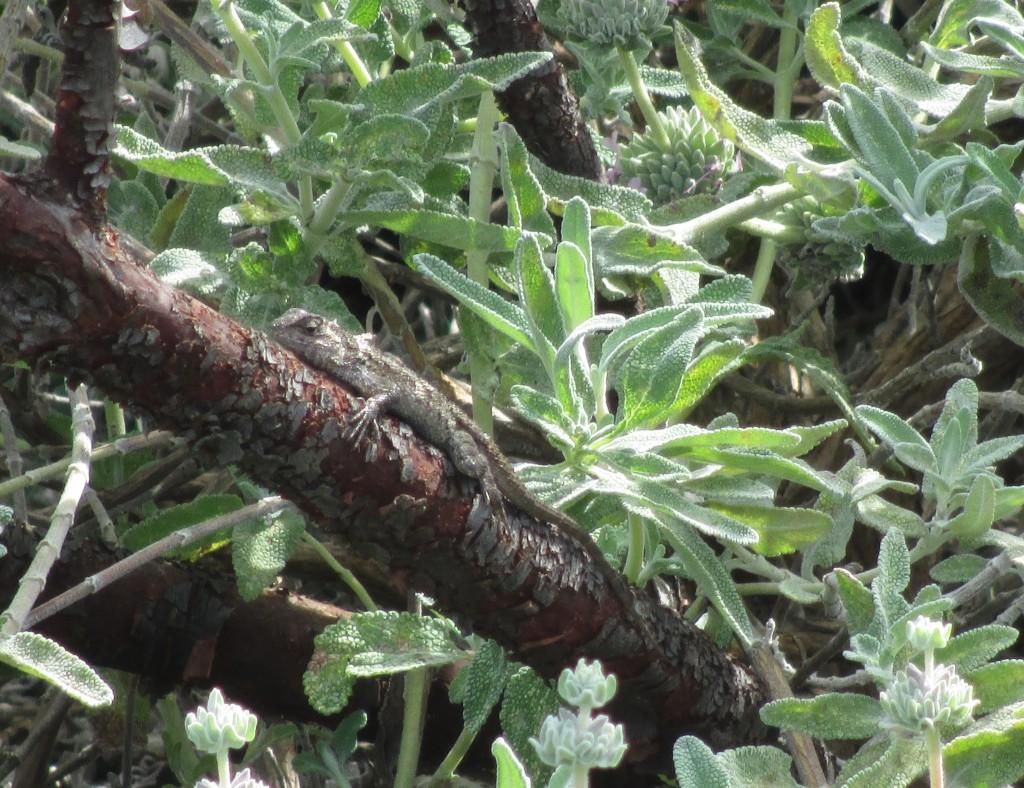 A lizard rests on a branch at Sage Ecological Landscapes Design
